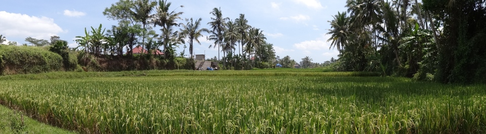 rice fields in Ubud