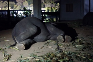 sleeping elephants
