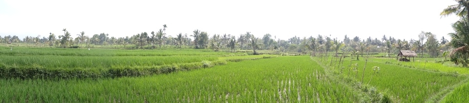 rice fields in Lombok